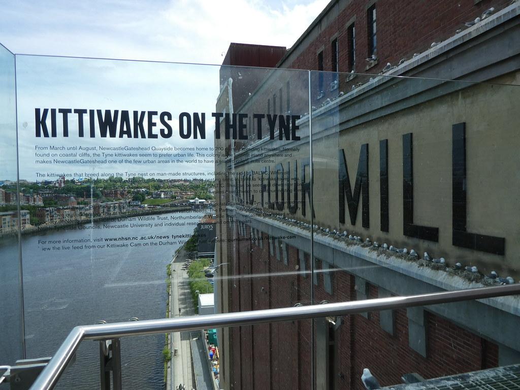 Kittiwakes on the Tyne, Baltic Centre