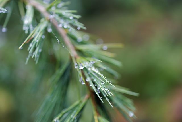 rainy conifer