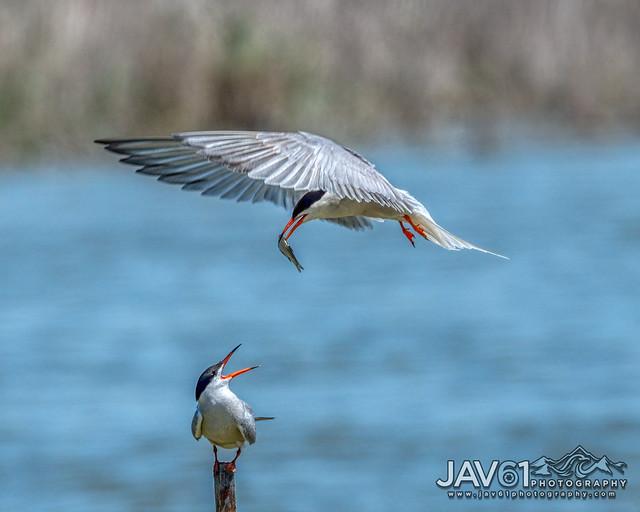Common tern (Sterna hirundo)-0683