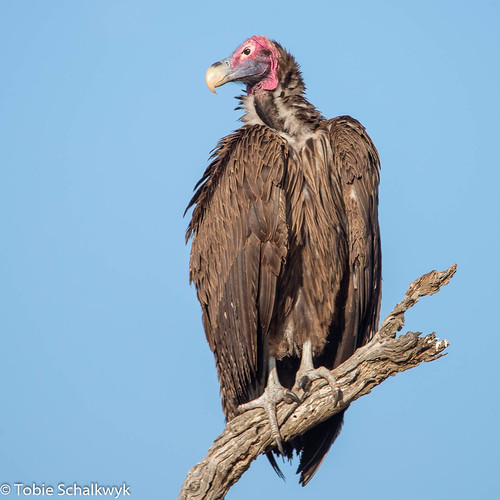 CTS_8722 Lappet-faced Vulture