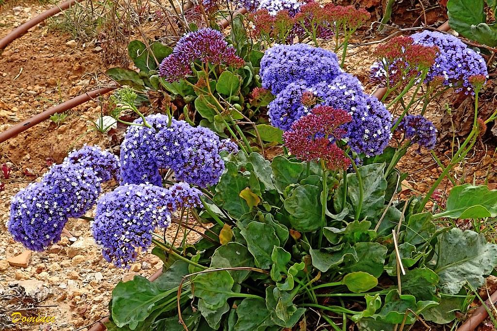 Mediterranean flower