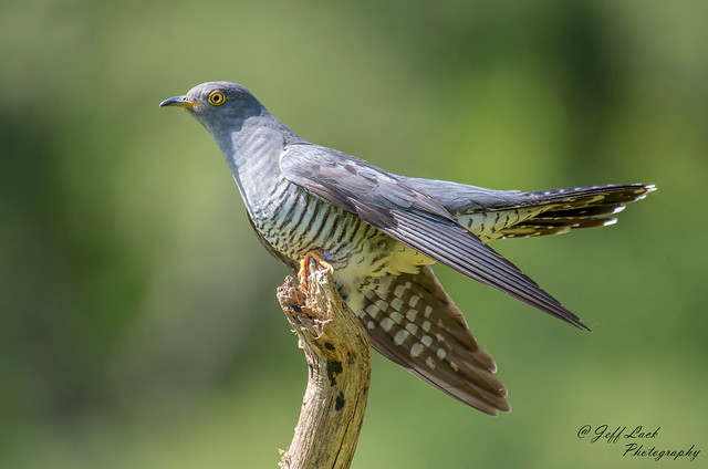 DSC3851  Cuckoo...