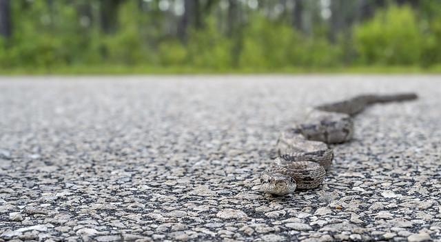 Gray Rat Snake