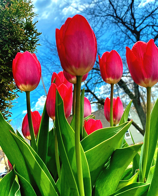 Pretty Tulips on a Sunny Spring Day