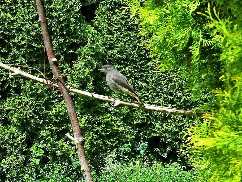 DSC03968 Jungvogel