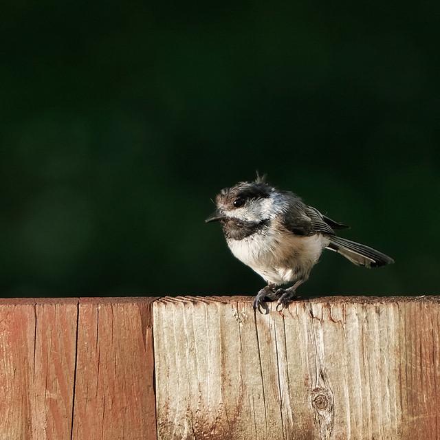 Backyard Chickadee