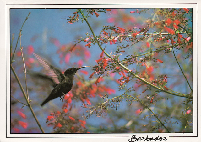 Barbados - Hummingbird gathering nectar