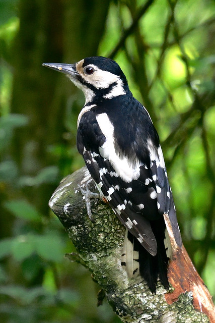 Female Great Spotted Woodpecker