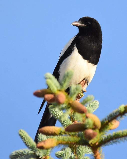 Black-billed magpie at Seedskadee National Wildlife Refuge