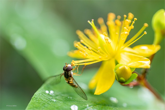 ... hoverfly ...
