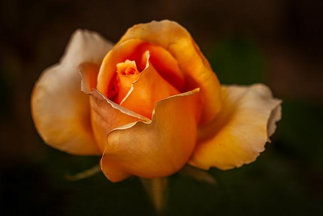 Rose (in explore)