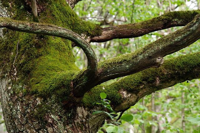 Vana puu