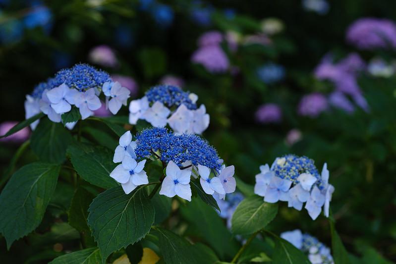 Japanese Hydrangea