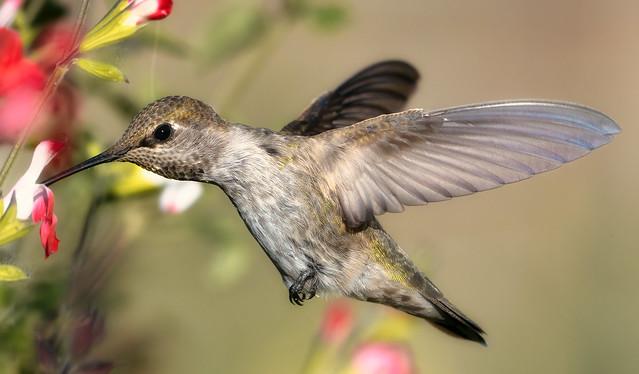 Anna's Hummingbird Full-frame