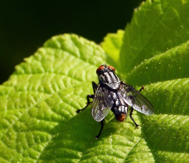 The Ubiquitous Meat Fly