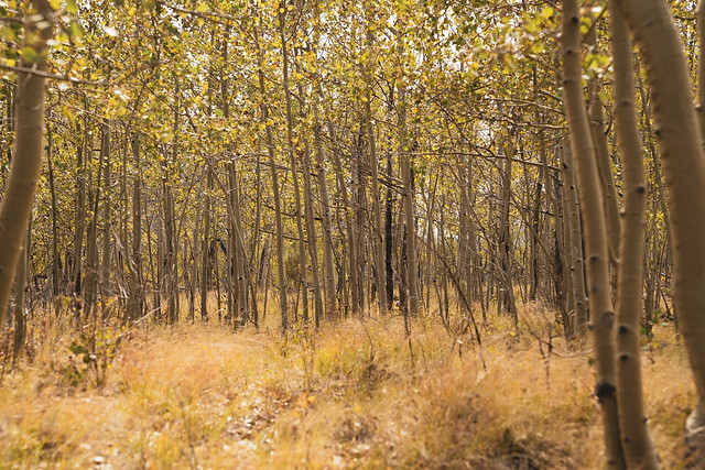 Grove of aspen trees, in early fall in Colorado