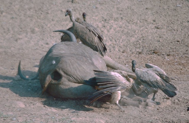 African White-backed Vultures (gyps africanus) on Buffalo carcass