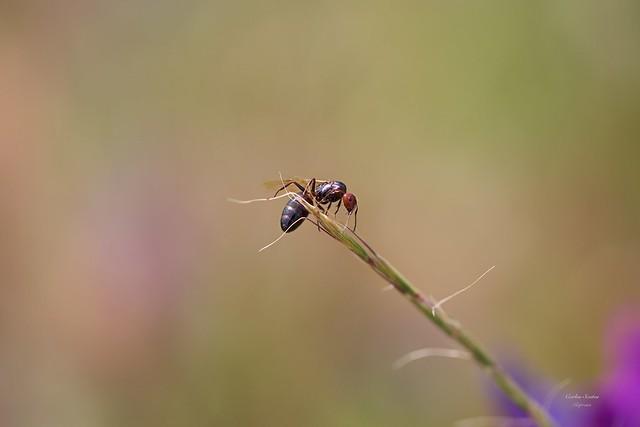 Formiga (Ant) - In