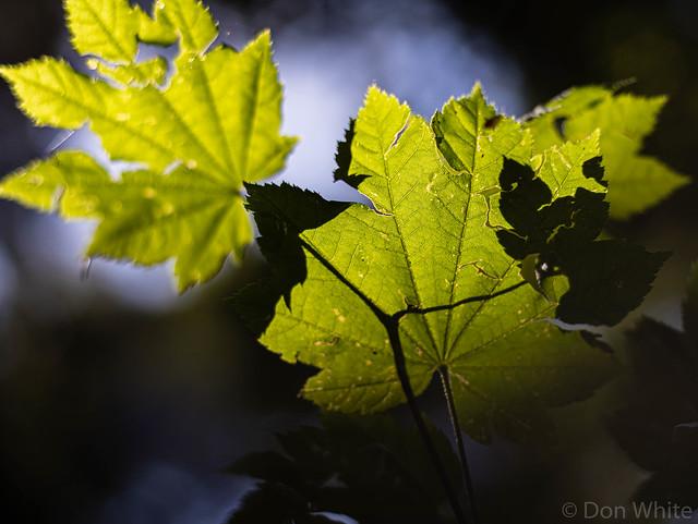 Sunlight on Vine Maple Leaves
