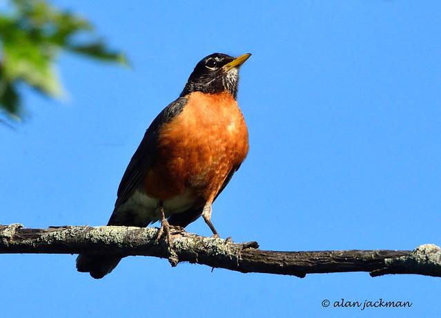 American Robin, John Heinz National Wildlife Refuge