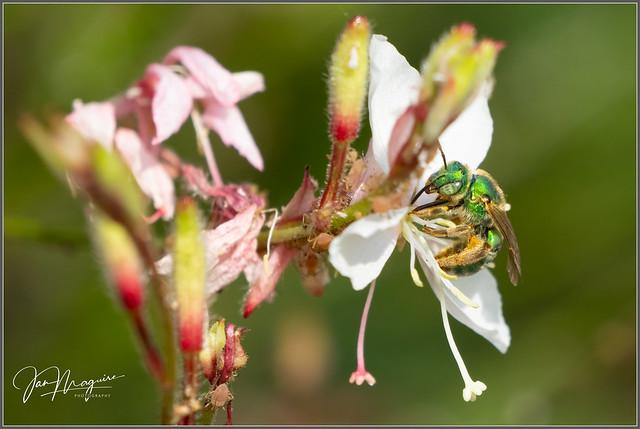 Green Sweat Bee 8941