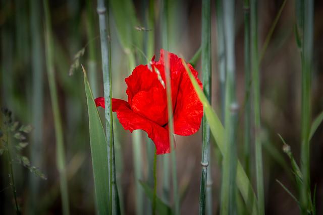 Poppy in grainfield - 3357