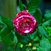 Cherry Parfait Rose Blossom