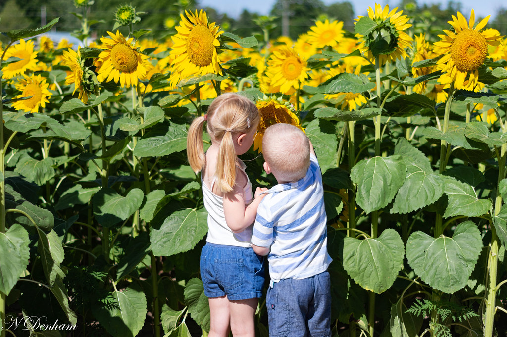 Sunflowers in Bayfield (Nancy Denham 1 of 1).jpg