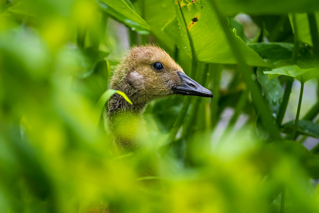 A Young Canada Goose