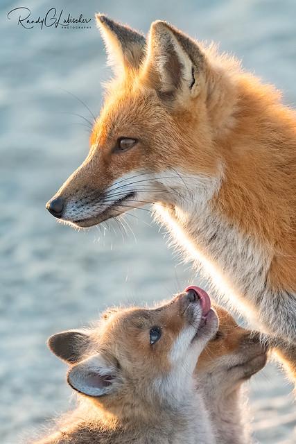 Red Fox   Vulpes Vulpes   2021 - 35