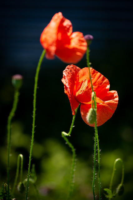 Shining red poppies