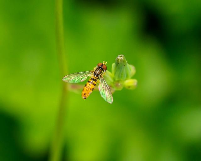 Calligrapher Fly - Genus Toxomerus