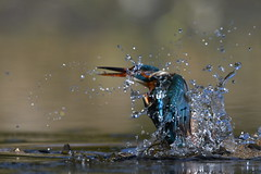 Kingfisher unlucky catch  (由  colinstone1