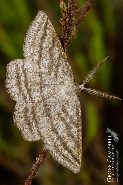 Grass Wave (Perconia strigillaria)