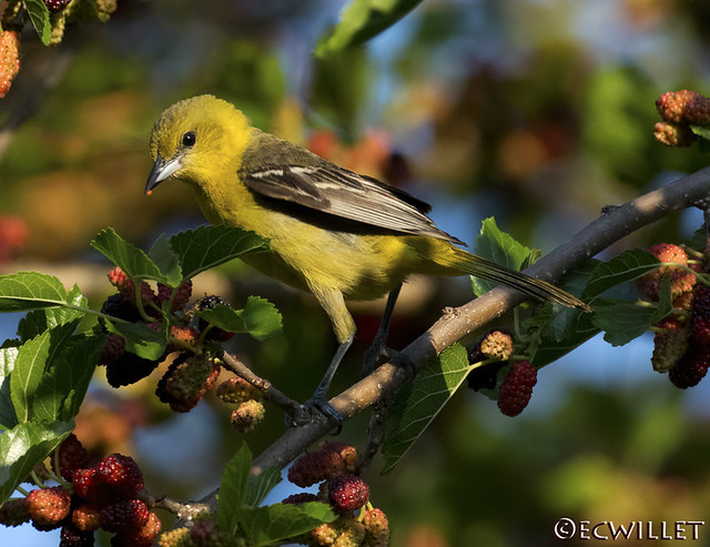 ms orchard oriole