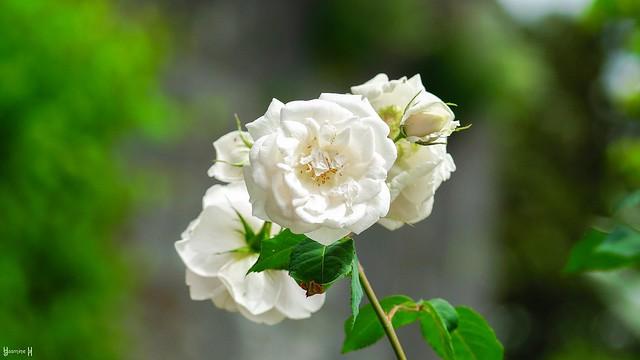 9857 - natural white #SmileOnSaturday