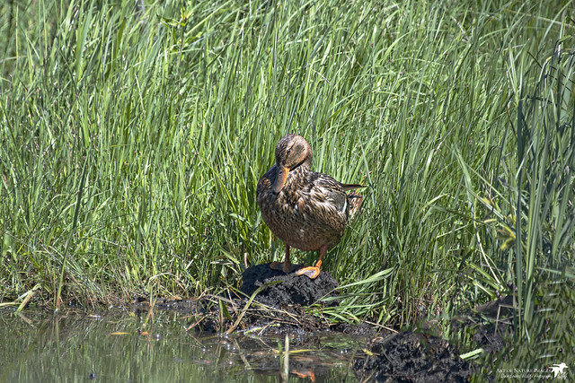 Marsh Grass Mallard 2