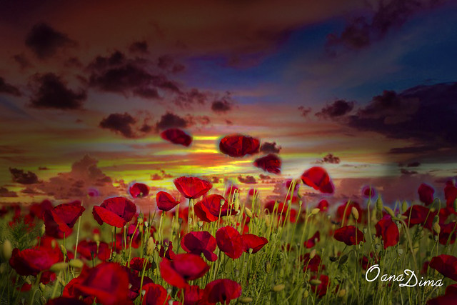 Sunset poppy flowers