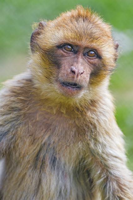 Close curious macaque