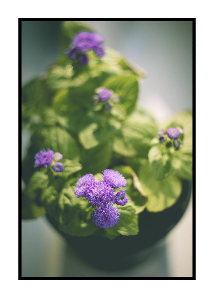 my home garden - ageratum