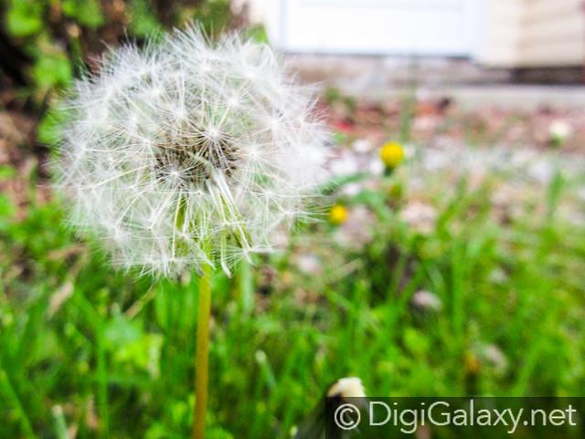 One Big Dandelion