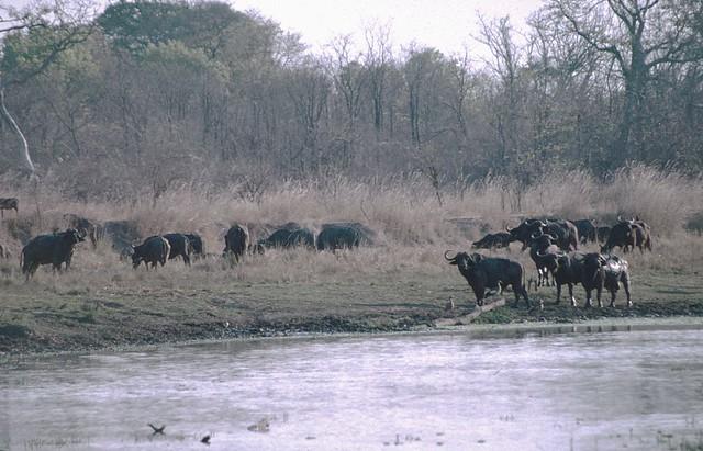 African Buffalo herd at edge of lagoon