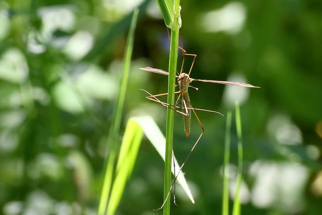 Cranefly (Tipula paludosa)