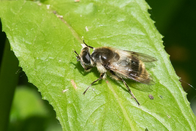 Hoverfly: Cheilosia illustrata [Syrphidae]