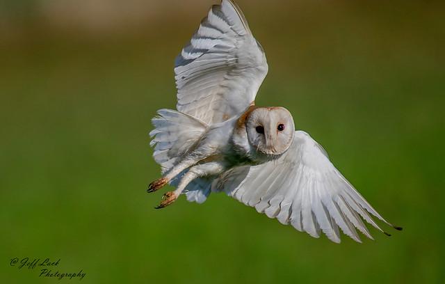 DSC7353  Barn Owl...