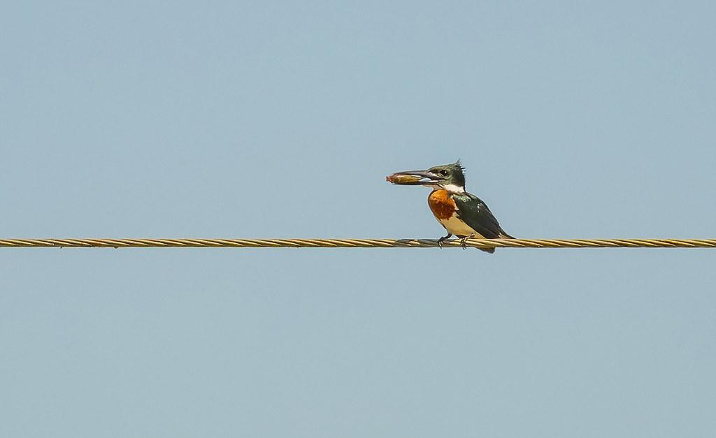 Amazon kingfisher / Kambþyrill (Chloroceryle amazona)