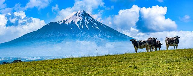 Mount Taranaki and a Few Cows