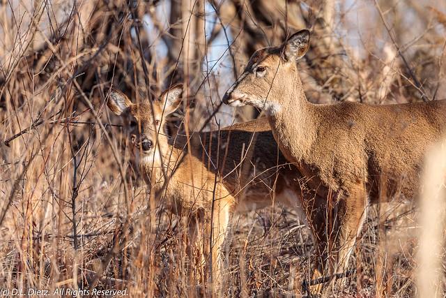 White-Tailed Deer #4 - 2021-03-07