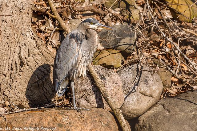 Great Blue Heron #6 - 2021-02-27