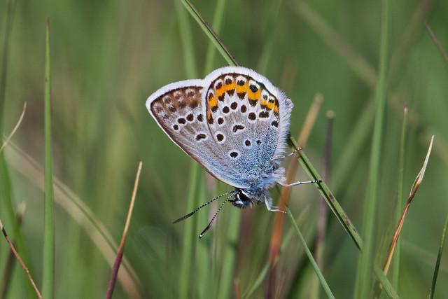 Silver-studded Blue ♂ Plebejus argus
